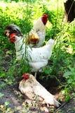 Петух и chikens пася на траве Стоковые Изображения RF