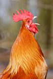 петух красного цвета крупного плана птицы Стоковое Изображение RF