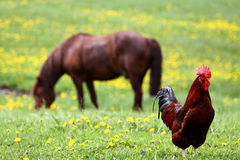 петух лошади стоковые фотографии rf