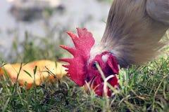 Петух находит еда от поля Стоковое Изображение