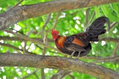Петух на дереве Стоковые Изображения