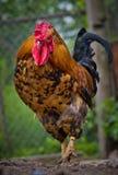 Петух на ферме Стоковые Фото