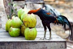 Петух с головой в кокосе, опасной обстановкой стоковое фото