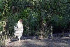 Петух, также известный как петушок или кран, взрослый мужской цыпленок в свободной птицеферме ряда стоковые изображения rf