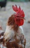 Петух Турции Стоковая Фотография RF