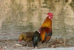 петух цыпленка Стоковые Фото