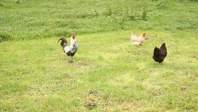 петух цыплят сток-видео