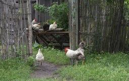 петух цыплят Стоковое Изображение