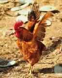 петух стоковая фотография rf