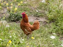 Петушок в ферме идя в затишье стоковые изображения