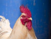 Петушок в ферме идя в затишье стоковое фото
