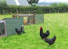 Петушок и курицы Джерси гигантские Стоковые Фотографии RF