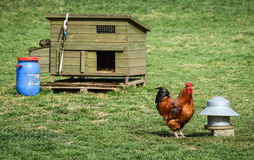 Петушок и Hutch Стоковая Фотография RF