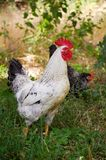 Петушок фуражируя для еды в траве лета стоковое фото rf