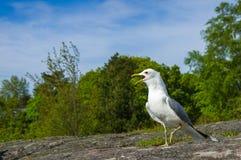Петь белой и серой чайке на камне гранита Стоковые Изображения