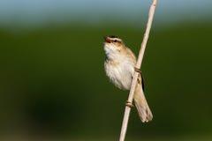 Петь певчей птицы осоки Стоковые Изображения RF
