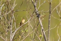 Петь певчей птицы осоки Стоковое Изображение RF