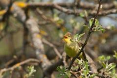 Петь певчей птицы Icterine Стоковое Фото