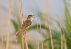 Петь певчей птицы Paddyfield Стоковое фото RF