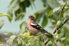 Петь птицы зяблика Стоковые Фотографии RF