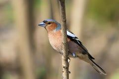 Петь птицы зяблика Стоковая Фотография RF