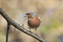 Петь птицы зяблика Стоковое Изображение