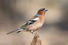 Петь птицы зяблика Стоковые Изображения
