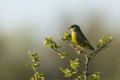 Петь птицы хлориды хлориды Greenfinch Стоковое Изображение RF