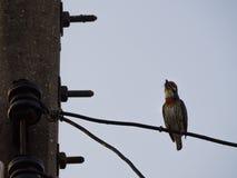 Петь птицы Megalaima Lineata Стоковая Фотография RF