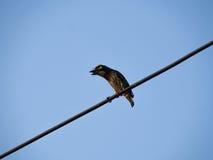 Петь птицы Megalaima Lineata Стоковая Фотография