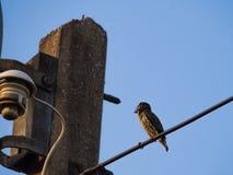Петь птицы Megalaima Lineata Стоковое Фото