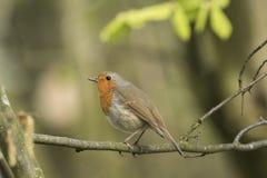 Петь птицы redbreast Робина Стоковая Фотография RF