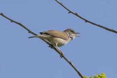 Петь птицы Whitethroat Стоковое фото RF