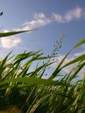 петь травы Стоковое Изображение RF