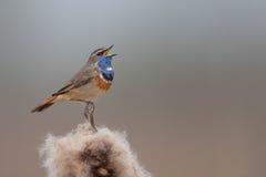 петь bluethroat Стоковое Изображение