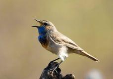 петь bluethroat Стоковое Изображение RF