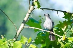 петь catbird Стоковое фото RF