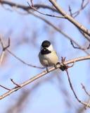 петь chickadee Стоковые Изображения