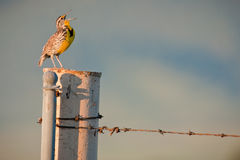 петь meadowlark западный Стоковая Фотография RF