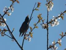 Петь Starling Стоковые Изображения RF