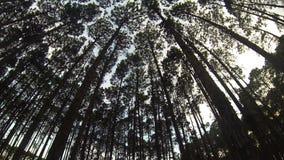 Петля соснового леса сток-видео