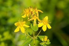 Пефорируйте s-wort ` St. John Цветковое растение макроса perforatum зверобоя в зеленой предпосылке Стоковое Изображение