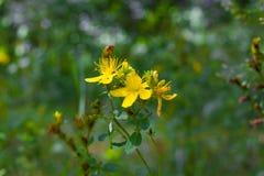 Пефорируйте wort St. John s Цветковое растение макроса perforatum зверобоя Стоковое Фото