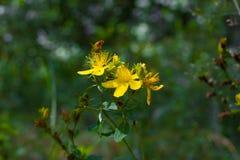Пефорируйте wort St. John s Цветковое растение макроса perforatum зверобоя Стоковая Фотография RF