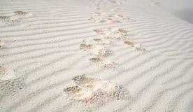 Печати лапки собаки в белом песке Стоковые Изображения RF