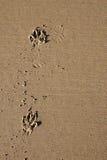 Печати лапки собаки в песке Стоковые Фотографии RF