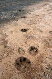 Печати лапки собаки проштемпелеванные на береге Стоковое Изображение RF