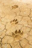 Печати лапки собаки Стоковые Фотографии RF