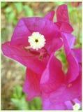Печати изящного искусства обоев предпосылки полевого цветка Bugambilia стоковое изображение