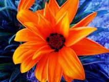 Печати изящного искусства предпосылки и обоев макроса цветка Gazania стоковое фото rf